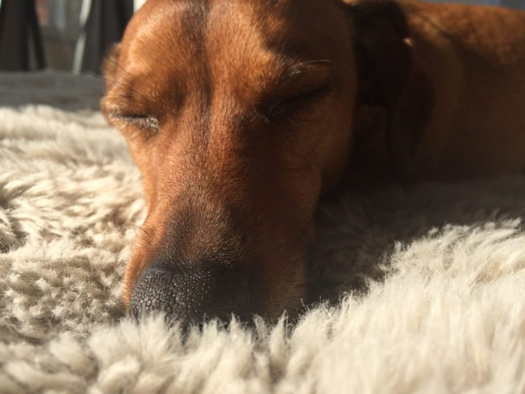 Sleeping sausage dog with no chronic fatigue