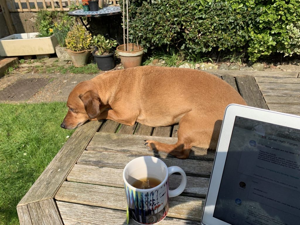 Working remotely with assistant wiener dog